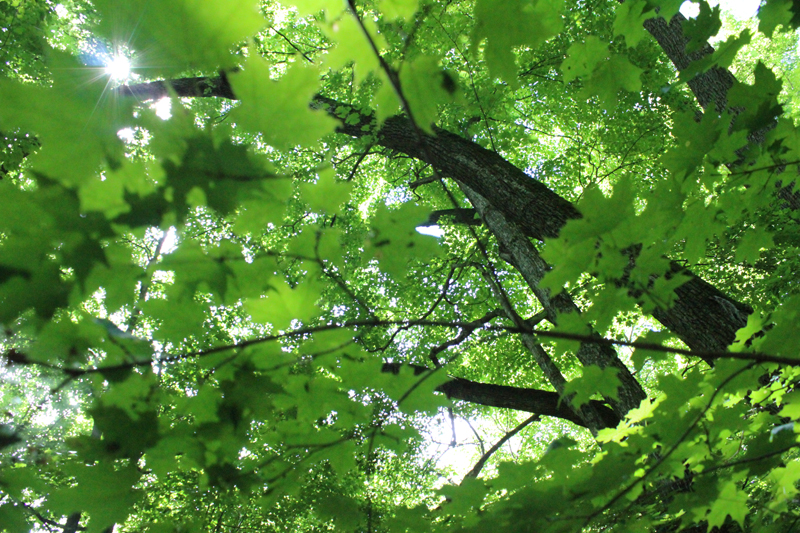 Looking up in the foliage. Photo: Jamie L. Manser