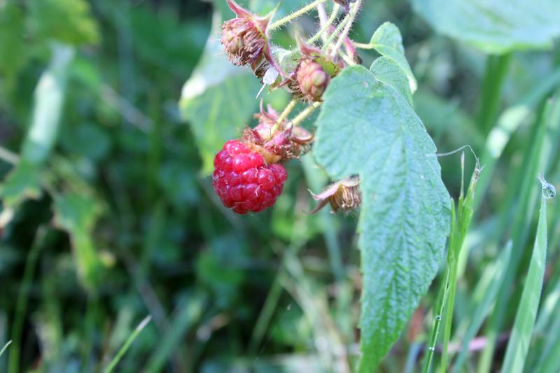 Wild raspberries, ummm, so sweet and sour! Photo: Jamie L. Manser JamieManser.com