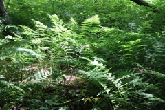 Ferns in the 40 acre woods. Photo: Jamie L. Manser
