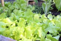 Delicious, beautiful lettuce growing in a barrel. Photo: Jamie L. Manser JamieManser.com