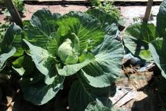 Cabbage! Photo: Jamie L. Manser