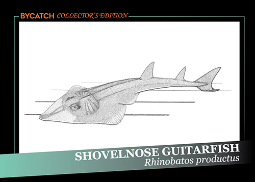 Shovelnose Guitarfish illustration by Maria Johnson. Courtesy of Maria Johnson